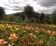 arboretum Wojsławice - lilie