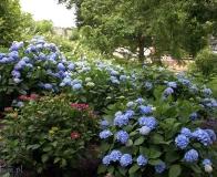 arboretum Wojsławice - hortensje