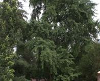 arboretum Wojsławice - miłorząb