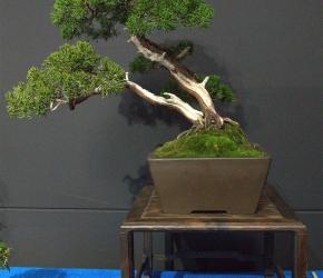 jałowiec chiński