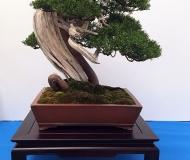 18 - jałowiec chiński Itoigawa, Yannick Kiggen