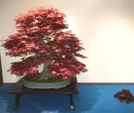 71 - klon palmowy, Shun
