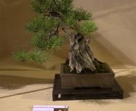 bonsai wystawa Wojsławice 2018