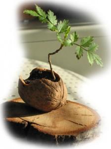 Mini bonsai w skorupie orzecha włoskiego