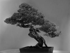 Tapeta bonsai 1024 × 768 pikseli