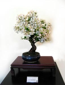 Bonsai jabłoń Halliana