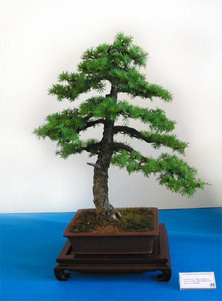 Bonsai modrzew japoński