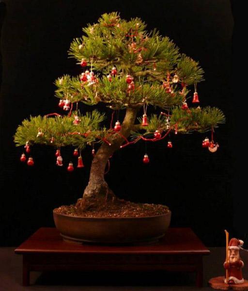 świąteczne bonsai