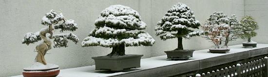 Drzewka bonsai zimą