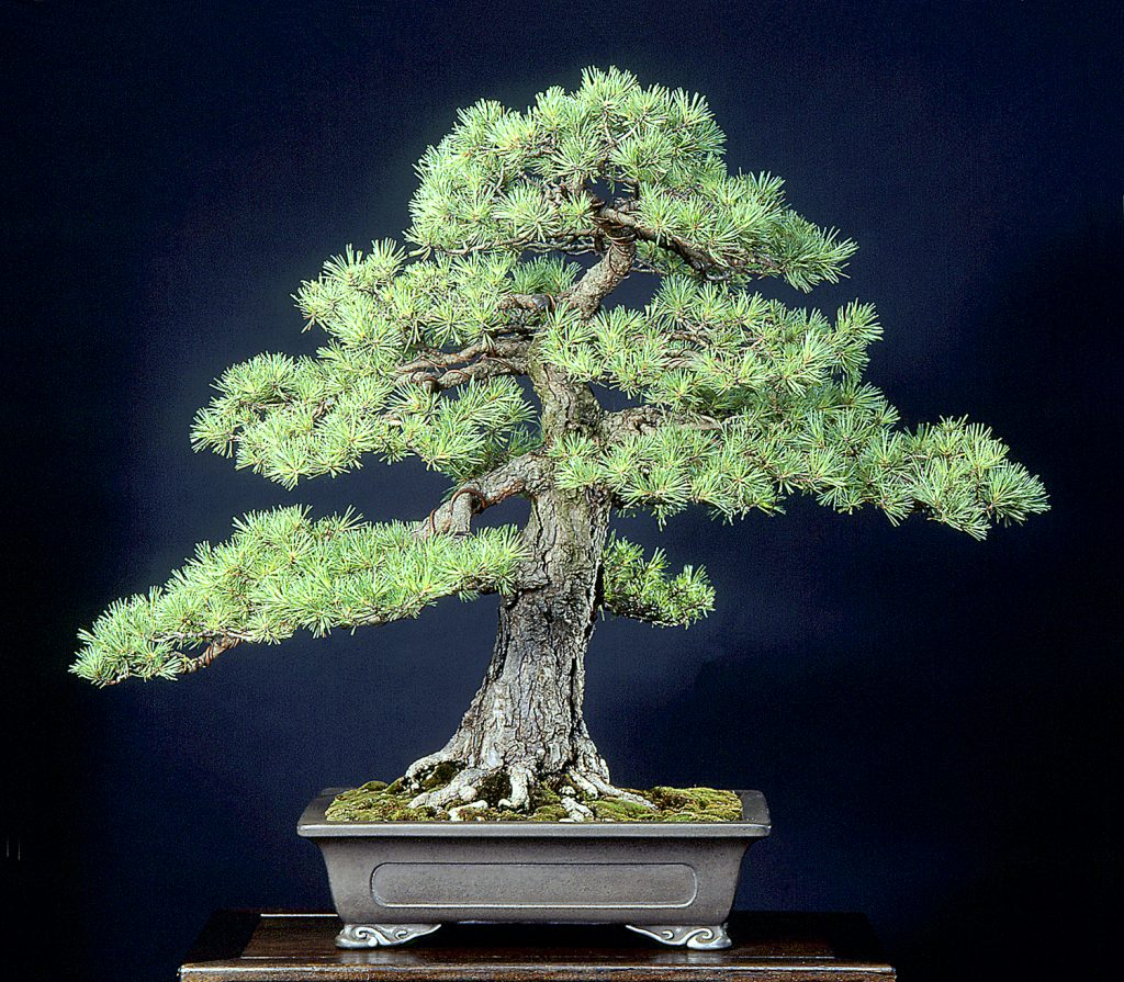 bonsai coniferous nebari - pinus sylvestris