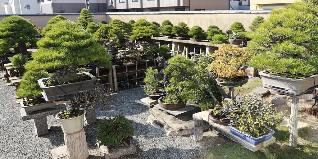 Mocowanie drzewek bonsai w ogrodzie