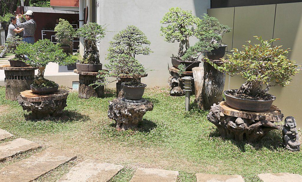 Bonsai na starych podstawach pni drzew
