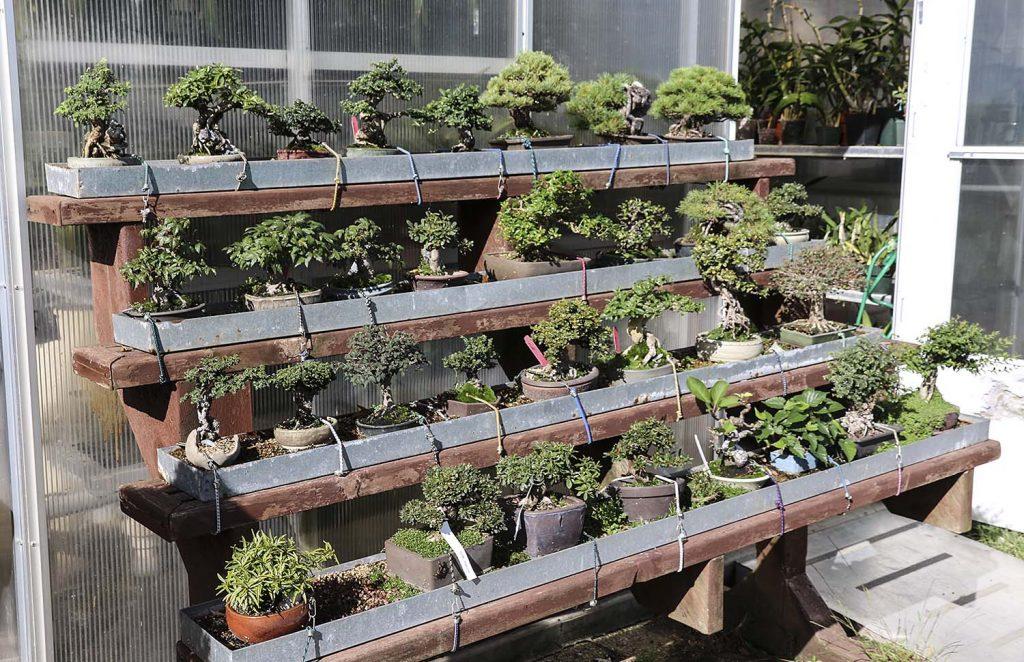 Półki z bonsai na starych schodach