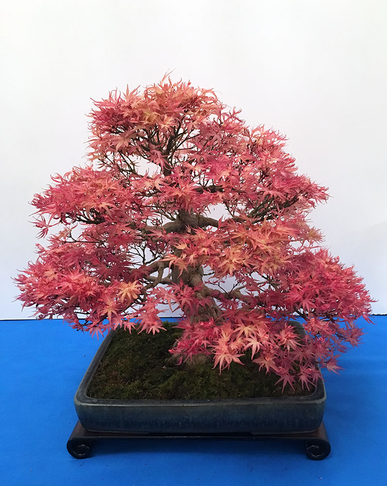 Wystawa bonsai Książ 2017 - klon palmowy, Marcus Watts