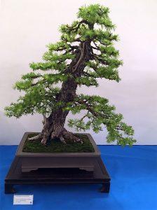 Wystawa bonsai Książ 2017 - modrzew europejski, Rafał Kulesza