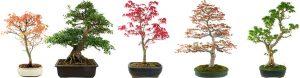 drzewka bonsai