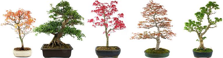 Drzewka bonsai – sprzedaż, idealny prezent