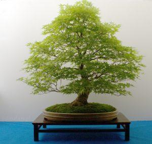 bonsai klon palmowy