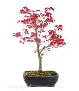 bonsai klon palmowy Deshojo