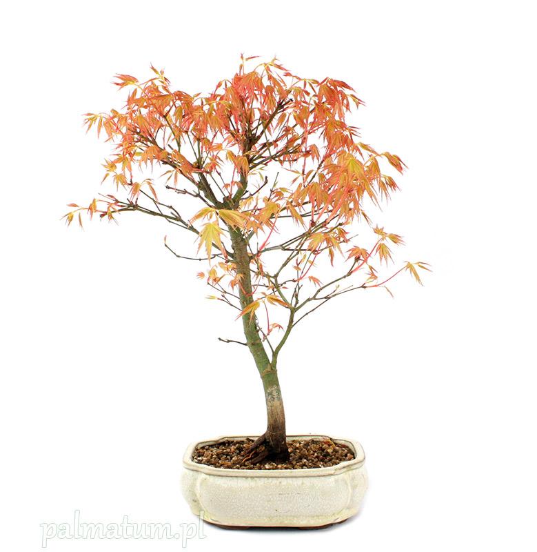 bonsai klon palmowy Katsura