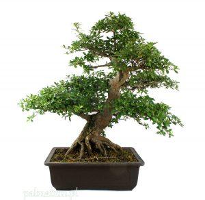 bonsai azalia