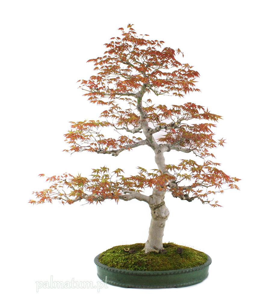 Bonsai klon palmowy Yama Momiji
